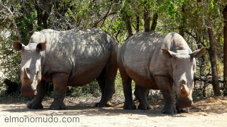 rinocerontes blancos en Hlane Royal National Park-Swaziland