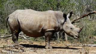 magnifico rinoceronte en Hlane Royal National Park - Swaziland