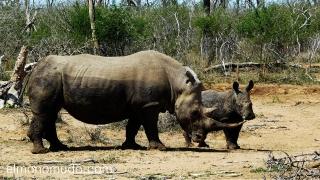 rinoceronte hembra con su cria en Hlane Royal National Park .Swaziland