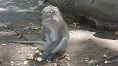 Mono,Ubud,bosque de los monos,Bali