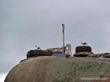 cigüeñas en nidos.valle del jerte.caceres