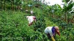 recolectores de cafe en el eje cafetero.colombia