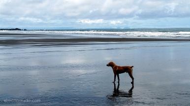 Colombia. El Chocó. El Valle. Playa Almejal. Perro solitario escrutando el horizonte.