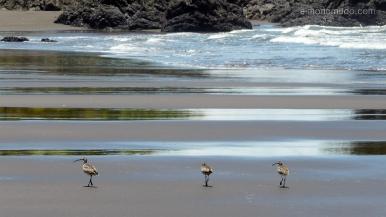 Colombia. El Chocó. El Valle. Playa Almejal. Pajaros en la playa.