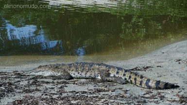 cocodrilo en el camino de la panaderia . parque nacional tayrona. colombia