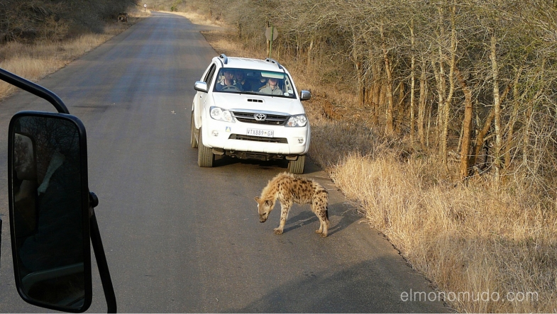 hiena en la carretra.  kruger national park. south africa