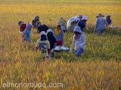 Campesinas en Lombok. Indonesia.