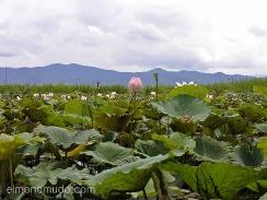 flores en el lago inle. myanmar