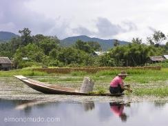 recogiendo la cosecha en el lago inle. myanmar