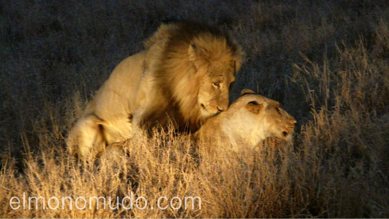 leones apareándose en la noche del Kruger National Park