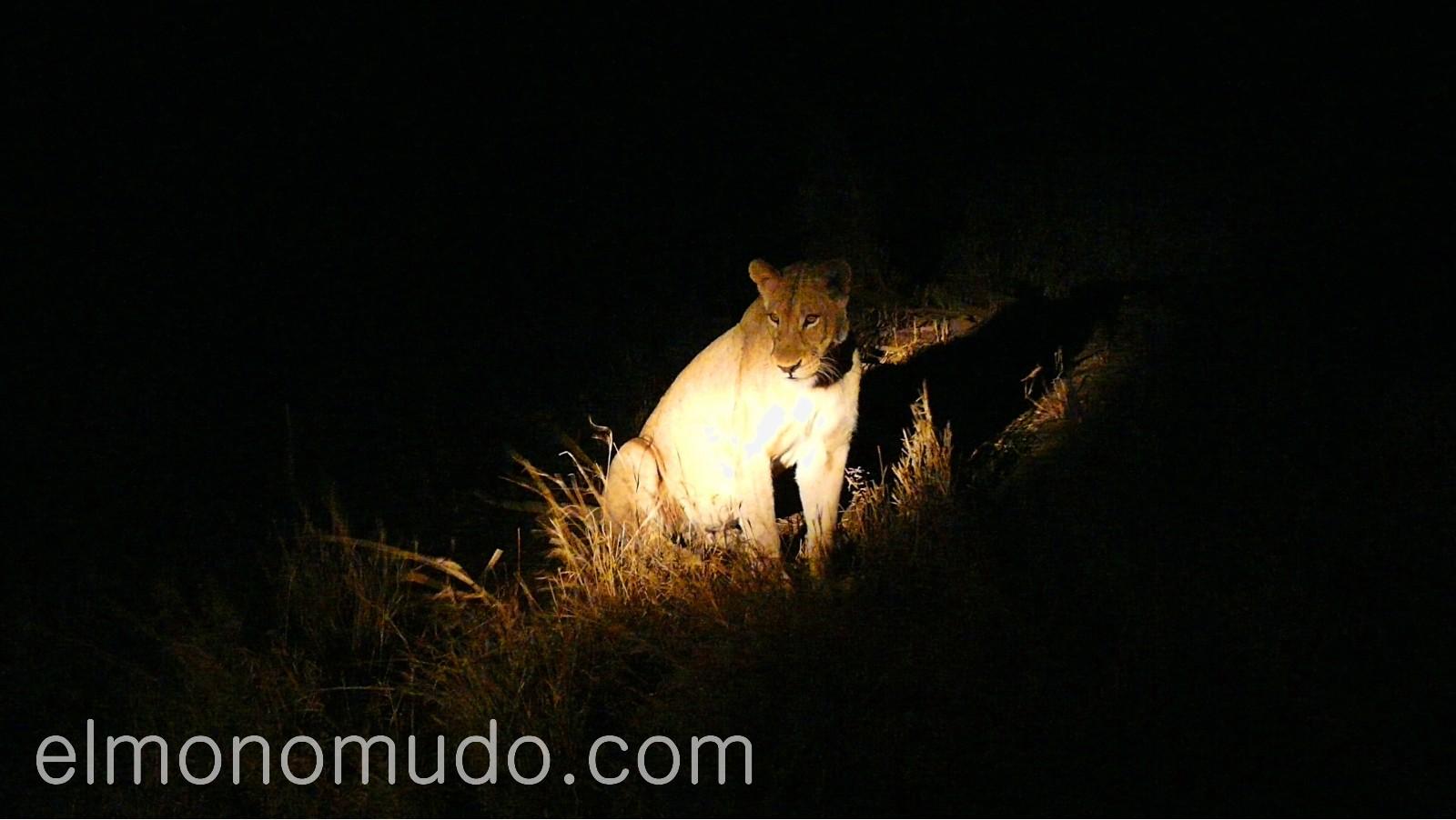 leones en la noche del Kruger National Park