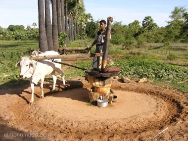 buey en molino . myanmar. birmania