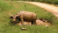 bueyes revolcandose en el fango, myanmar