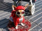 perro equipado para trabajar una mañana de domingo. ramblas de barcelona