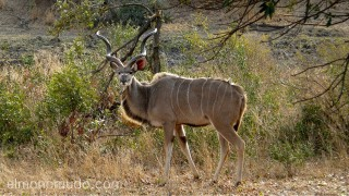 gran kudú
