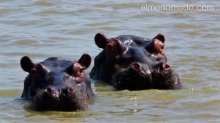 hipopotamos en remojo. Hlane Royal National Park-Swaziland