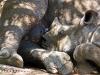 cria de rinoceronte satisfecha despues de mamar. Hlane Royal National Park -Swaziland