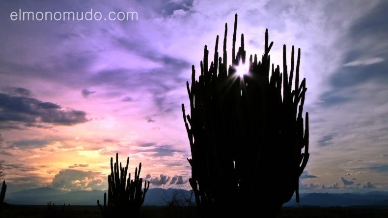 cactus gigantes al atardecer. desierto de la tatacoa. colombia