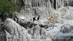 cabras salvajes en el desierto de la tatacoa. colombia
