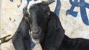 Cabra de pupila horizontal