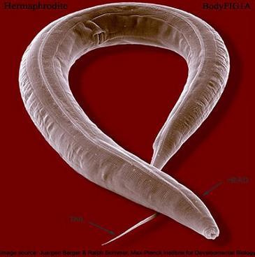 gusano caenorhabditis elegans