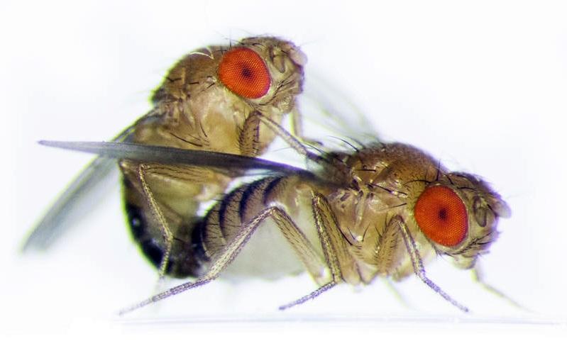 Las-moscas-macho-cooperan-con-sus-hermanos-para-aparearse 2